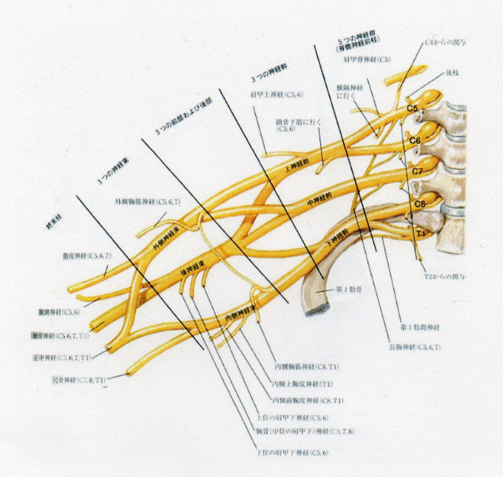 叢 腕 神経